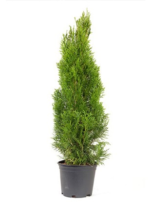 Thuja smaragd 60-80cm AKTION !!!!! IN TOPF !!!!