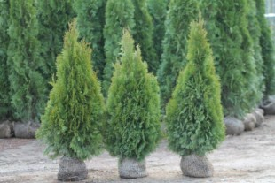 TOP QUALITY Thuja Smaragd