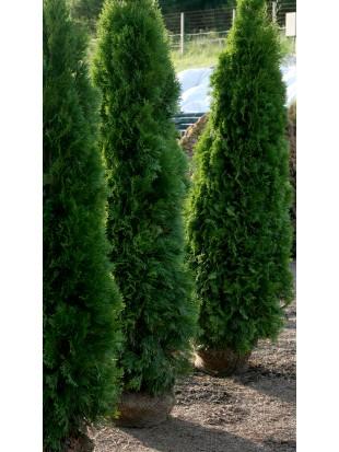 Thuja Smaragd 220 240cm Sonderpreis