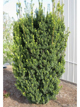 Taxus Media Hicksii  150-185
