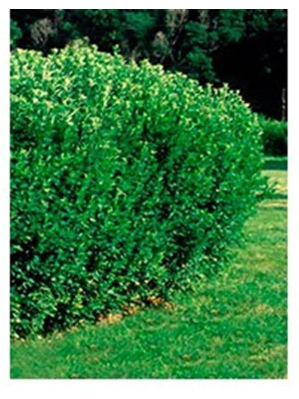 cotoneaster lucidus. Black Bedroom Furniture Sets. Home Design Ideas