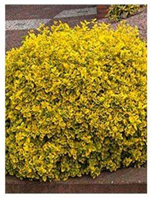 EUONYMUS FORT.EMERALD,N GOLD