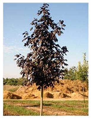ACER PLAT.ROYAL RED (Baumstamm 6-8cm)