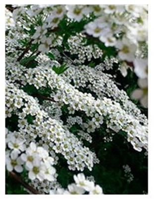 SPIRAEA NIP.SNOWMOUND