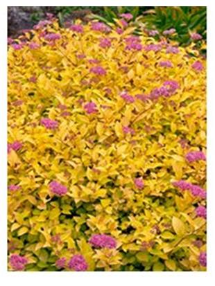 SPIRAEA JAP.GOLDEN PRINCESS