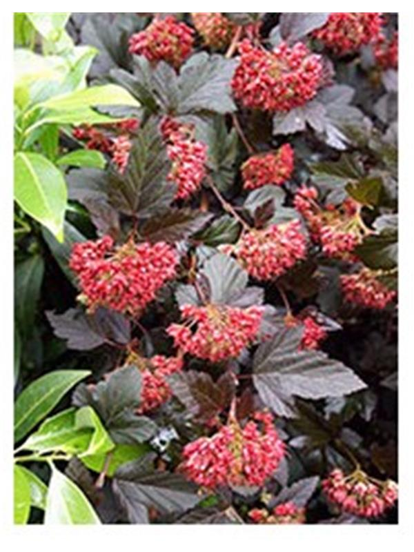 PHYSOCARPUS OP.RED BARON