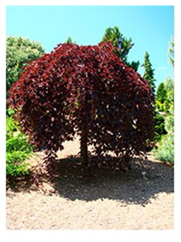 fagus sylv purpurea pendula baumstamm 4 6cm. Black Bedroom Furniture Sets. Home Design Ideas